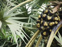 Het Aziatische Palmyra-fruit van Palmborassus op Arecales-palm Stock Foto
