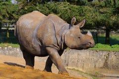 Het Aziatische rinoceros lopen royalty-vrije stock fotografie