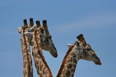 Het babbelen Giraf Royalty-vrije Stock Foto's