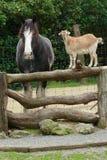 Het babbelen van de geit en van het paard Stock Foto's