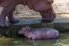 Het babynijlpaard en zijn moeder waren geboren in gevangenschap stock afbeelding