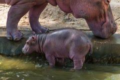 Het babynijlpaard en zijn moeder waren geboren in gevangenschap royalty-vrije stock afbeelding