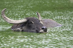 Het Bad van Amerikaanse elanden Stock Afbeeldingen