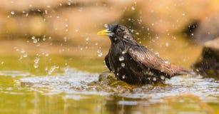 Het baden Gemeenschappelijke Starling Royalty-vrije Stock Fotografie