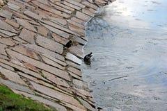 Het baden starlings Royalty-vrije Stock Foto's