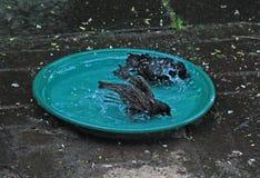 Het baden starlings Stock Foto