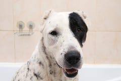 Het baden van de Centrale Aziatische Herder Dog Hond die een Schuimbad neemt Alabai Verzorgende hond stock foto's