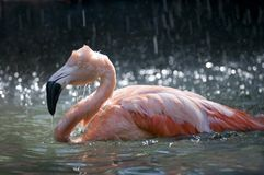 Het baden van de flamingo Stock Foto