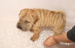 Het baden van de hond Stock Fotografie