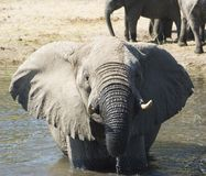 Het baden van de olifant Royalty-vrije Stock Afbeelding
