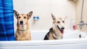 Het baden van de twee gemengde rassenhonden Honden die een schuimbad nemen Verzorgende hond stock afbeeldingen