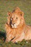 Het Baden van de zon Leeuw Royalty-vrije Stock Afbeeldingen