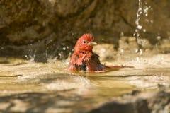 Het baden van Tanager van de zomer Stock Foto's