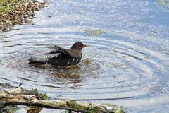 Het baden vogels Stock Afbeeldingen