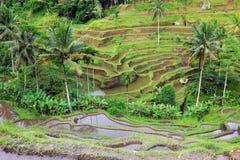 Het Balinese landschap van rijstterrassen. Stock Fotografie