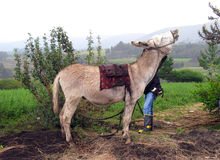 Het balken in de hooglanden van Ecuador Stock Afbeelding