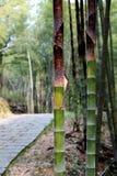Het bamboe in een bos Royalty-vrije Stock Afbeeldingen