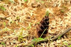 Het bamboe in een bos Stock Foto