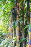 Het bamboe in Forest Grove schijnt gezond Royalty-vrije Stock Afbeelding