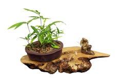 Het Bamboe van de bonsai Stock Afbeeldingen