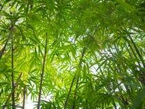 Het bamboebos is natuurlijke green voor ontspanning en toerisme royalty-vrije stock foto's