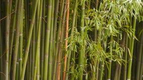 Het bamboebosje kan de boomstammen en de bamboebladeren zien stock video