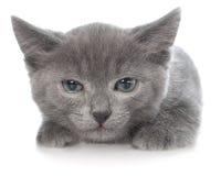 Het bang gemaakte grijze katje lag Stock Foto