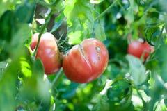 Het barsten op de het groeien tomaat stock afbeeldingen