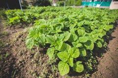 Het basilicum plant landbouwbedrijf Stock Foto