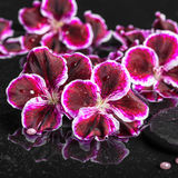 Het Beautiful spa plaatsen van bloeiende donkere purpere geranium bloeit Stock Fotografie
