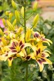 Het Bed van bloemenlily shocking grow in flower royalty-vrije stock foto