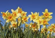 Het Bed van de bloem van Gele narcissen Royalty-vrije Stock Foto's
