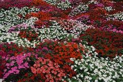 Het bed van de bloem van Impatiens stock afbeelding