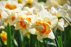 Het bed van de narcissenbloem in zonlicht stock afbeeldingen
