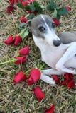 Het bedelen van Hond Royalty-vrije Stock Afbeelding