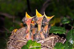 Het Bedelen van Robins van de baby Stock Fotografie