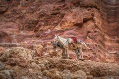 Het Bedouin ezel rusten omringd door rood landschap stock afbeeldingen