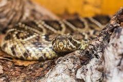 Het bedreigen van bruine slang stock foto