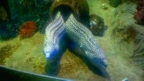 Het bedreigen van Moray-paling in de Middellandse Zee Stock Afbeeldingen