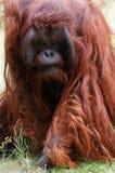 Het bedreigen van orangoetan Stock Foto