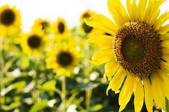 Het Bedrijf van de zonnebloem stock afbeeldingen