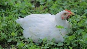 Het beeld toont een witte kip zoekend naar voedsel op een gebied van het open land stock footage