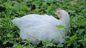Het beeld toont een witte kip zoekend naar voedsel op een gebied van het open land stock video