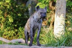 Het beeld van het close-upportret van een Bevlekte Hyena die zich onder de rotsen bevinden Royalty-vrije Stock Fotografie
