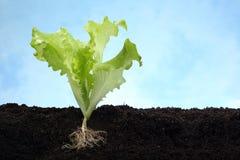 Het beeld van de sla met wortel in grond Royalty-vrije Stock Afbeeldingen
