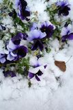 Het beeld van de voorraad van Pansies onder Sneeuw Stock Afbeeldingen