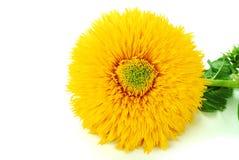 Het beeld van de zonnebloem voor een binnenland Royalty-vrije Stock Foto's