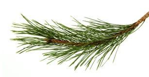 Het beeld van een tak van de pijnboom stock afbeeldingen