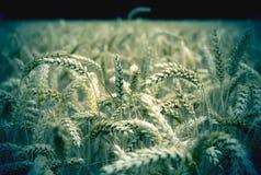 Het beeld van Grunge van tarwe Stock Fotografie