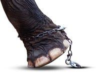 Het been en de ketting van de olifant die op witte achtergrond wordt geïsoleerd royalty-vrije stock afbeeldingen